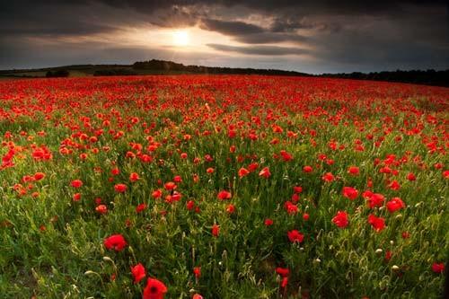 Poppy field by doug chinnery