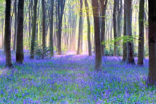 bluebell wood landscape art