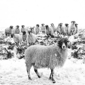 Leader of the Flock