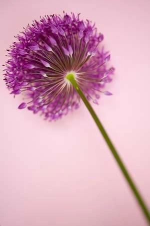 Allium Pink