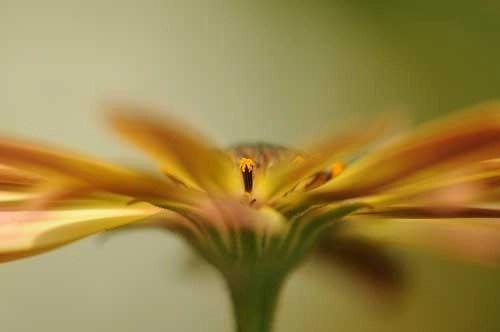 Osteospermum