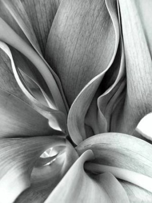 Tulip Leaves