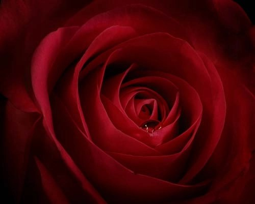 Rose Droplet