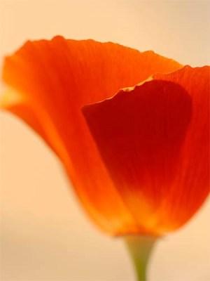 Soft Poppy