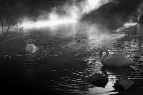 Mystic Swans