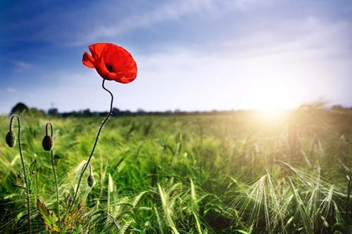The Poppy and the Sun