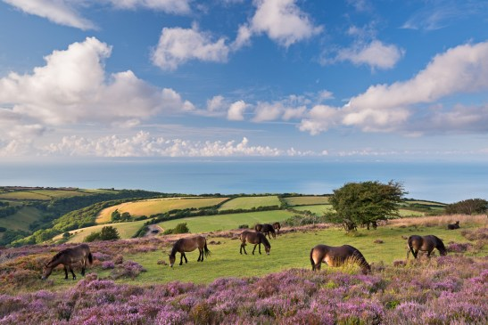 Exmoor ponies and a carpet of flowering heather on Porlock Common, Nikon D800E, 17-35mm at 32mm, ISO 200, 1/40 sec at f/13. August. © Adam Burton