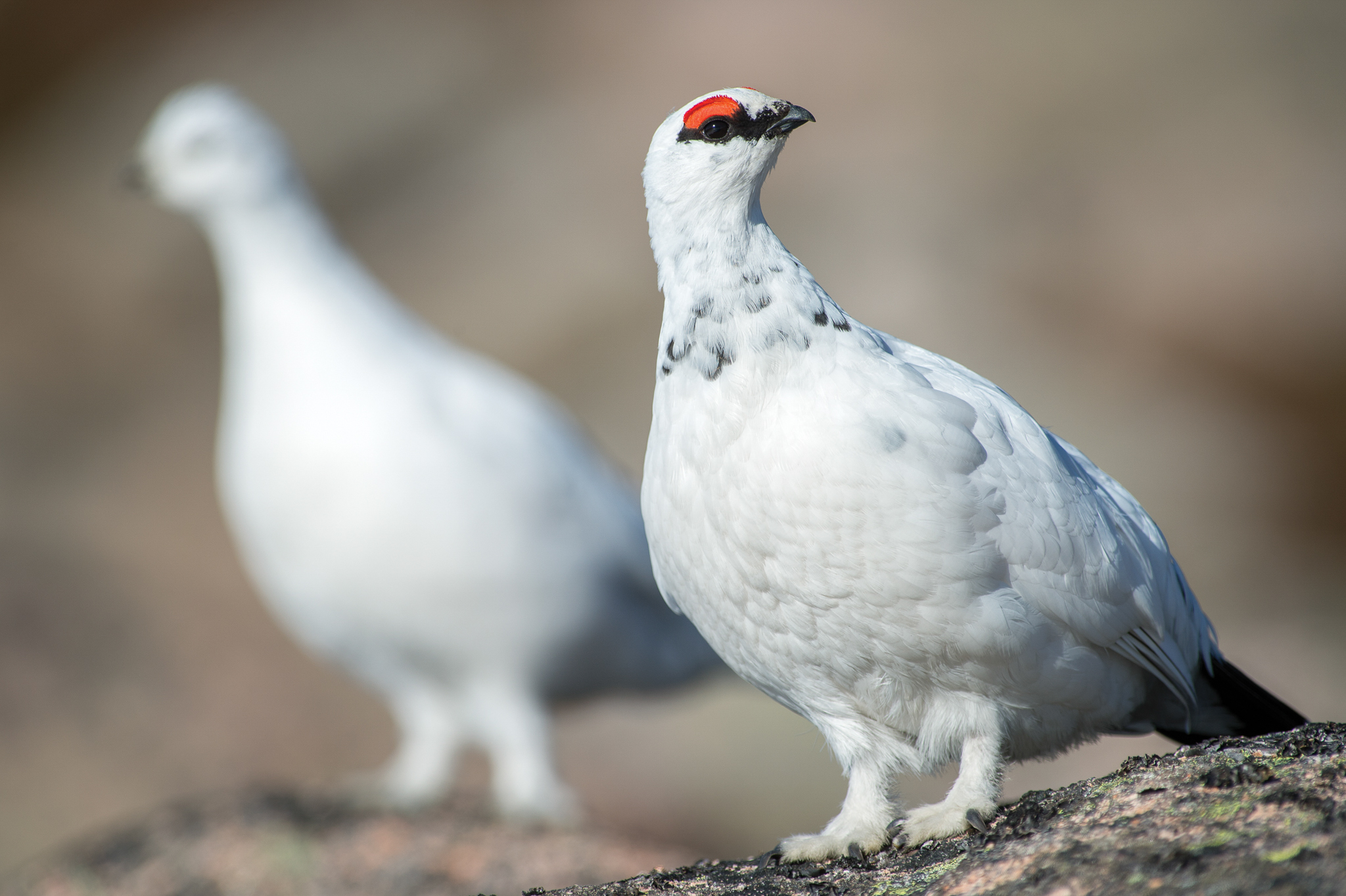 Displaying male ptarmigan with his hen in the background: Note the fabulous feathery feet. Nikon D4, 300mm + 2 x converter at 600mm, ISO 250, 1/1250 sec at f/8. © Andrew Marshall