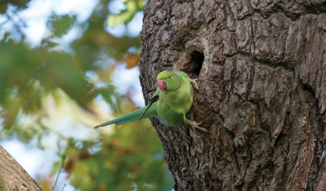 Nikon D800E, 300mm, ISO 6400, 1/640 sec at f/5.6. © Andrew Marshall D42_0118 - Ring-necked parakeet checking out a nest hole. Nikon D4, 500mm, ISO 1600, 1/640 sec at f/6.3. © Andrew Marshall