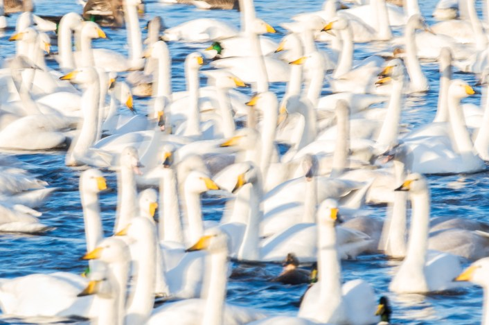 Intentional blur: slow exposure flock of whoopers. Nikon D4, 500mm, ISO250, 1/13 sec at f/22. © Andrew Marshall