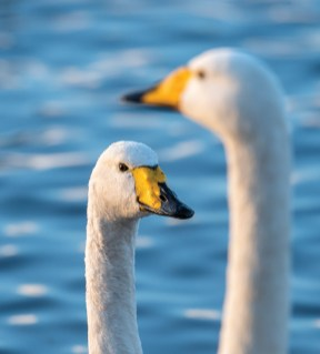 Whooper swan profiles. Nikon D4, 500mm, ISO 1600, 1/640 sec at f/6.3. © Andrew Marshall