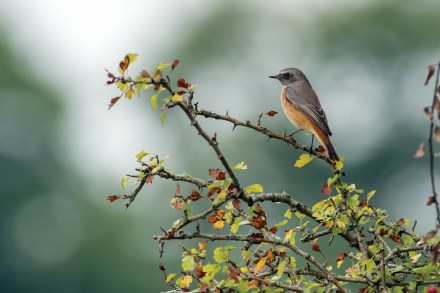 Male redstart in late summer plumage. Nikon D4, 300mm + 2 x converter at 600mm, ISO 1600, 1/1250 sec at f/8. © Andrew Marshall