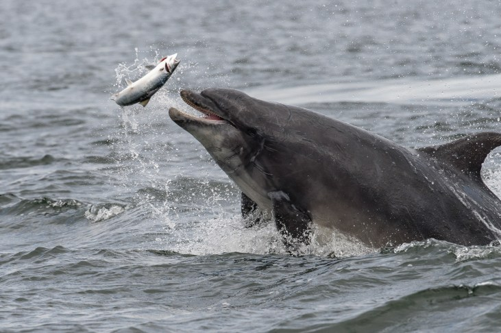 'Scoopy' and the salmon. The dolphin logged as Trailscoop catches a salmon. Nikon D4, 500mm, ISO 1000, 1/1250 sec at f/10. © Andrew Marshall