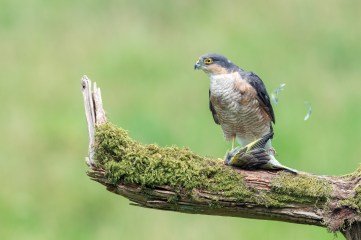 Sparrowhawk plucking his meal. Nikon D800E, 500mm, ISO 1600, 1/250 sec at f/8. © Andrew Marshall