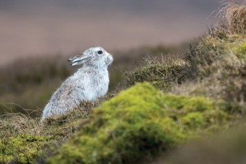 Misty moorland mountain hare. Nikon D800E, 300mm + 2 x converter at 600mm, ISO 1000, 1/1600 sec at f/5.6. © Andrew Marshall
