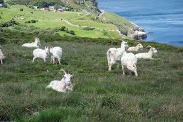 Mountain goats are a common site roaming the Great Orme. Sony RX100 at 100mm eq., 1/500 sec @ f/8, ISO 200. © Simon Kitchin