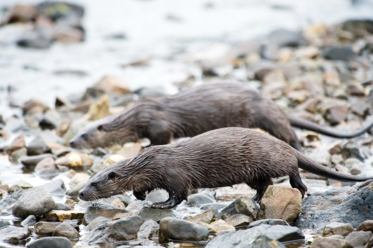 Mother and cub otter crossing the stream. Nikon D4, 300mm + 2 x converter at 600mm, ISO 2500, 1/1000 sec at f/5.6. © Andrew Marshall