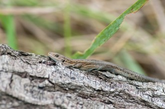 Common lizard basking. Nikon D4, 300mm + 2 x converter at 600mm, ISO 2000, 1/1000 sec at f/5.6. © Andrew Marshall
