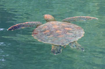 One of the many turtles encountered both above and below water whilst snorkelling.