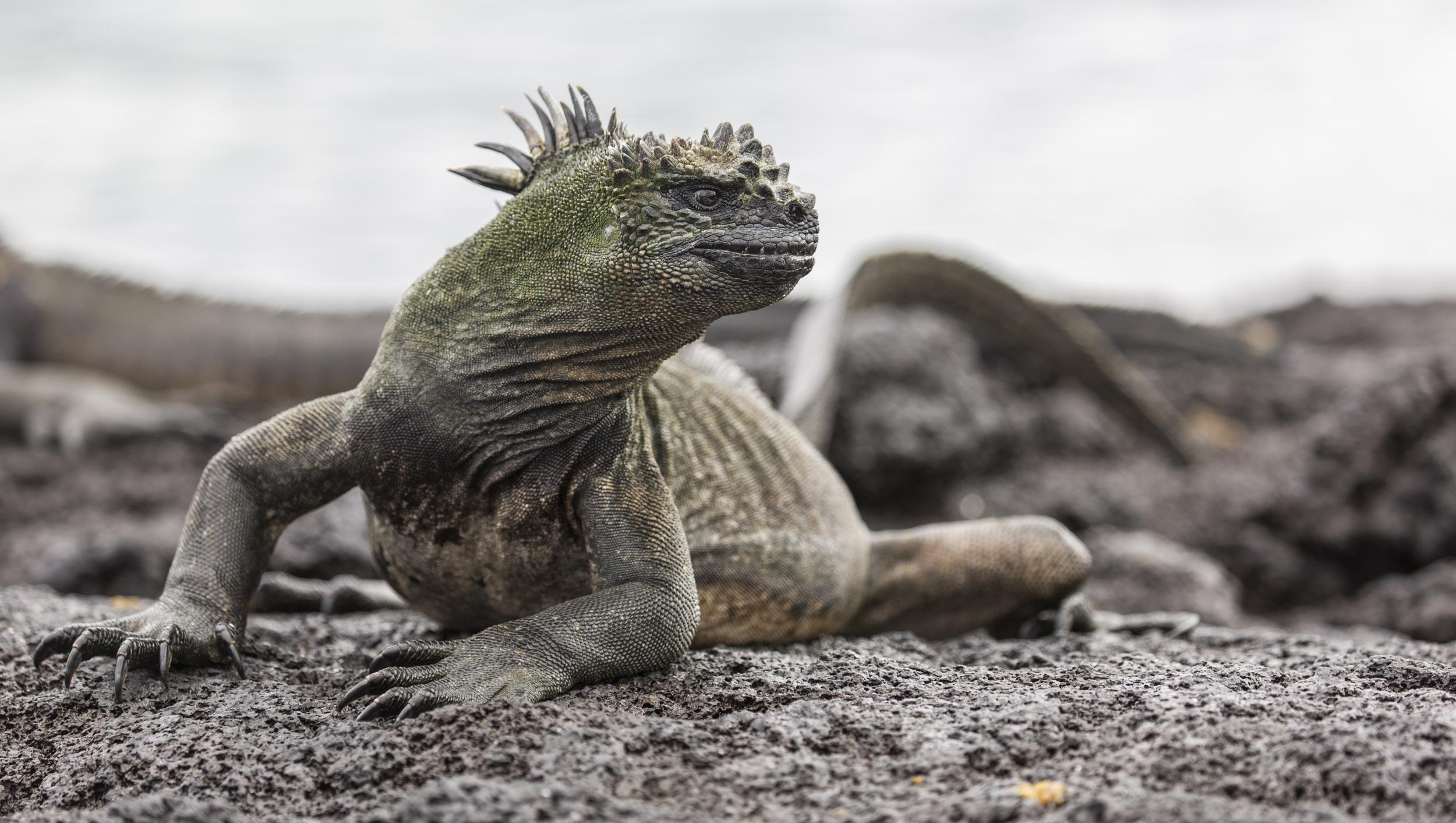 'Godzilla!' Marine iguana sunbathing.