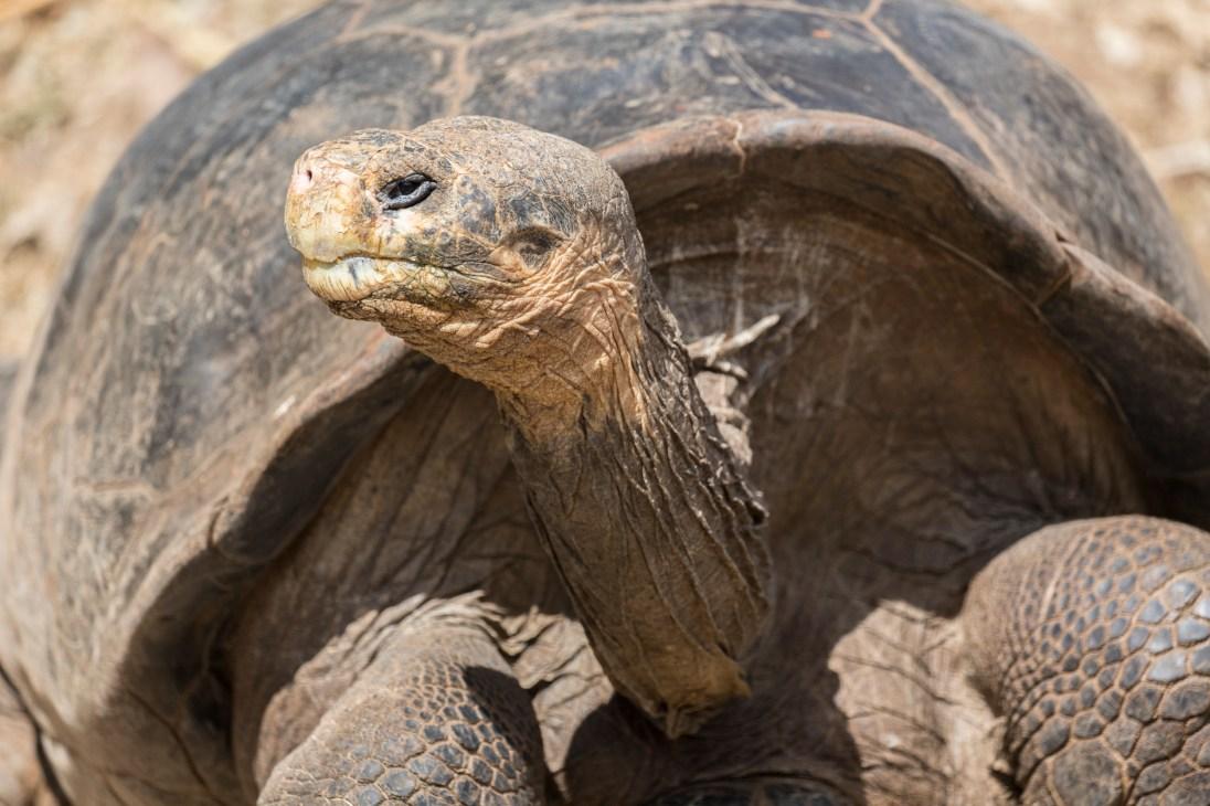 Giant tortoise in a breeding centre.