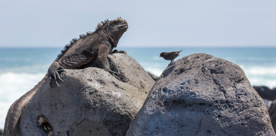 Iguana meets finch on the beach on Isabella Island.