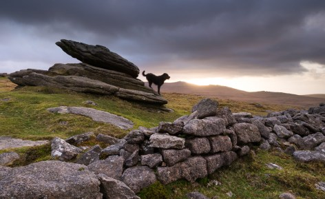 The Hound of the Baskervilles, roaming Belstone Tor on Dartmoor, Devon, England. Winter (February) 2012. © Adam Burton