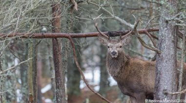 Red deer stag in winter forest. Nikon D4 with a Nikkor 500mm f/4 lens, ISO 5000, 1/500sec at f/5.6. © Andrew Marshall