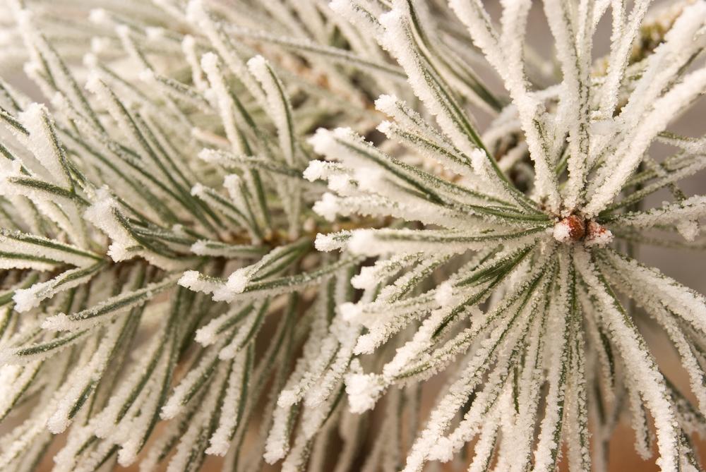 Frost on pine needles. Blenheim Park, Oxfordshire. Nikon D700, Nikkor 28-105 at 60mm, 1/50s at f/8. Tripod. January. © Sarah Howard