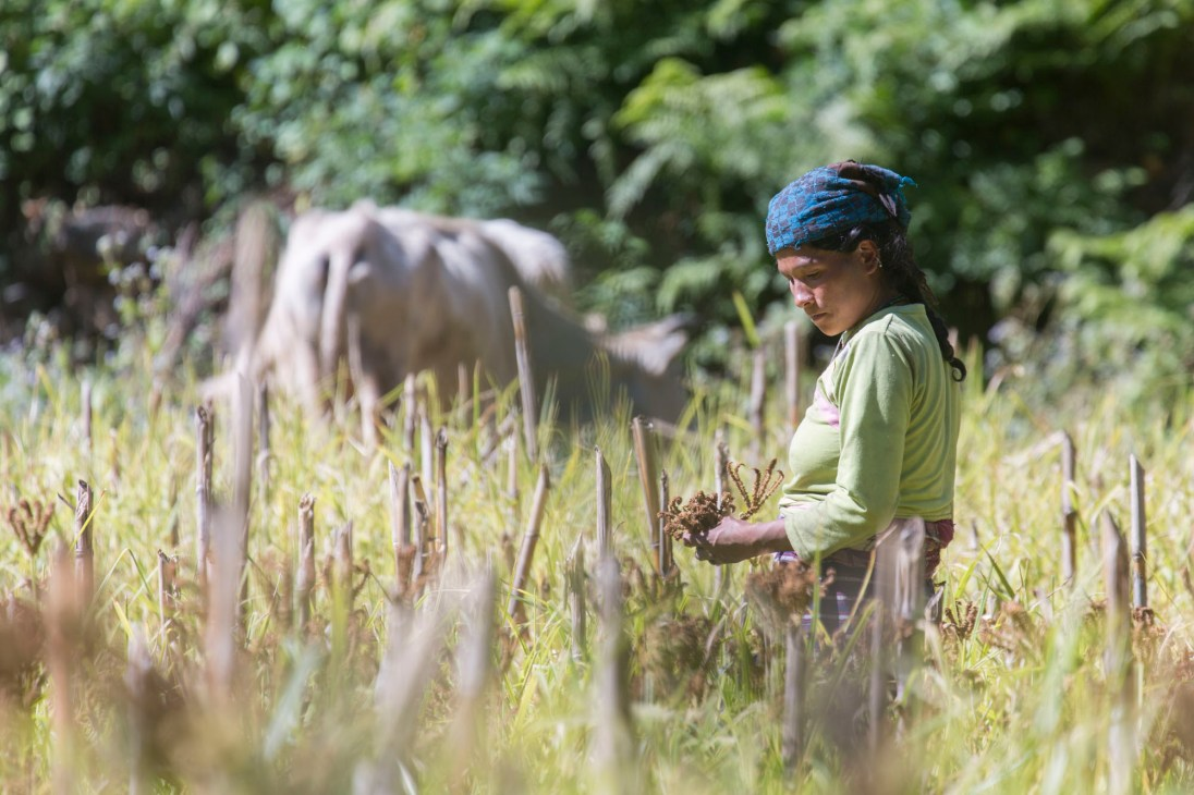 A local lady harvesting millet. Canon 5D MkIII, 70-300mm at 300mm, ISO 100, 1/250 sec at f/5.6. © Stuart Holmes.