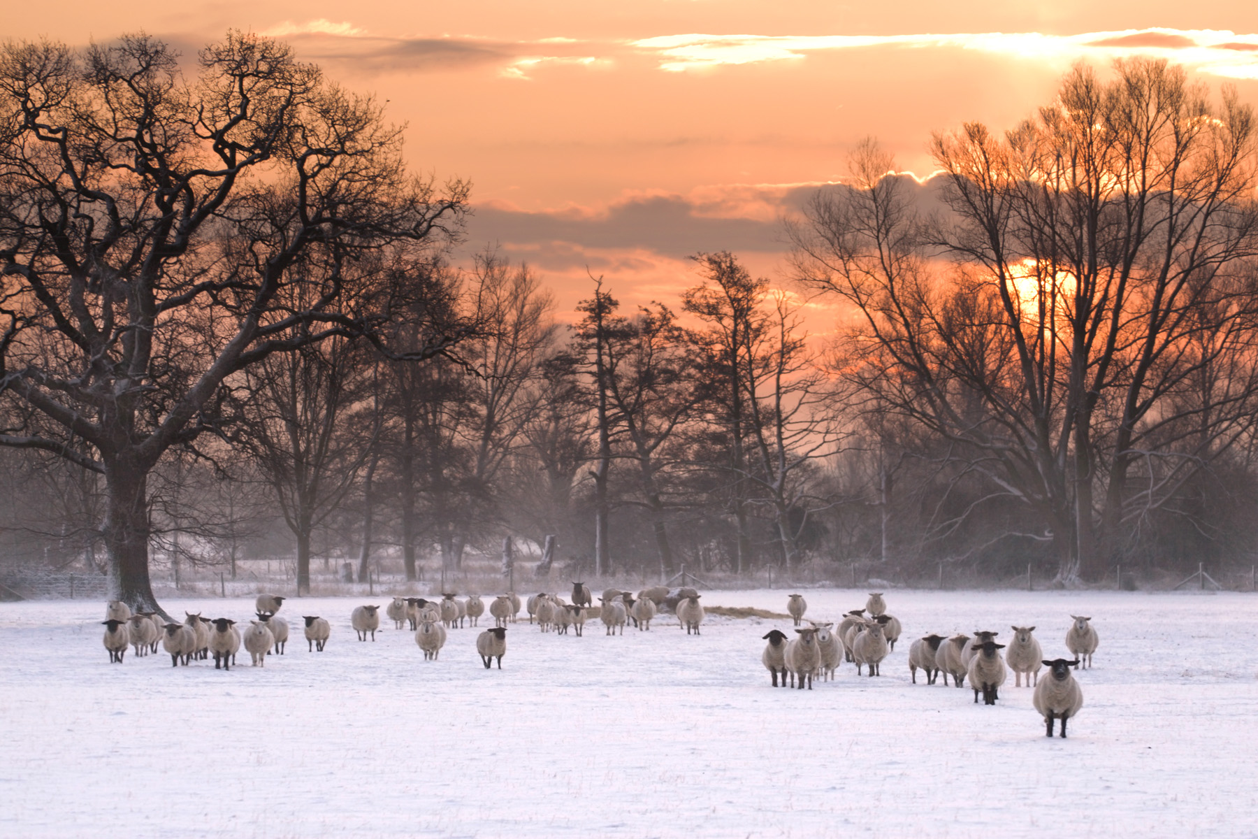 Sheep in the snow, Suffolk. Canon 30D, Canon 70-200mm f/4 at 109mm, ISO 100, 1/320s at f/4, Handheld. © Justin Minns