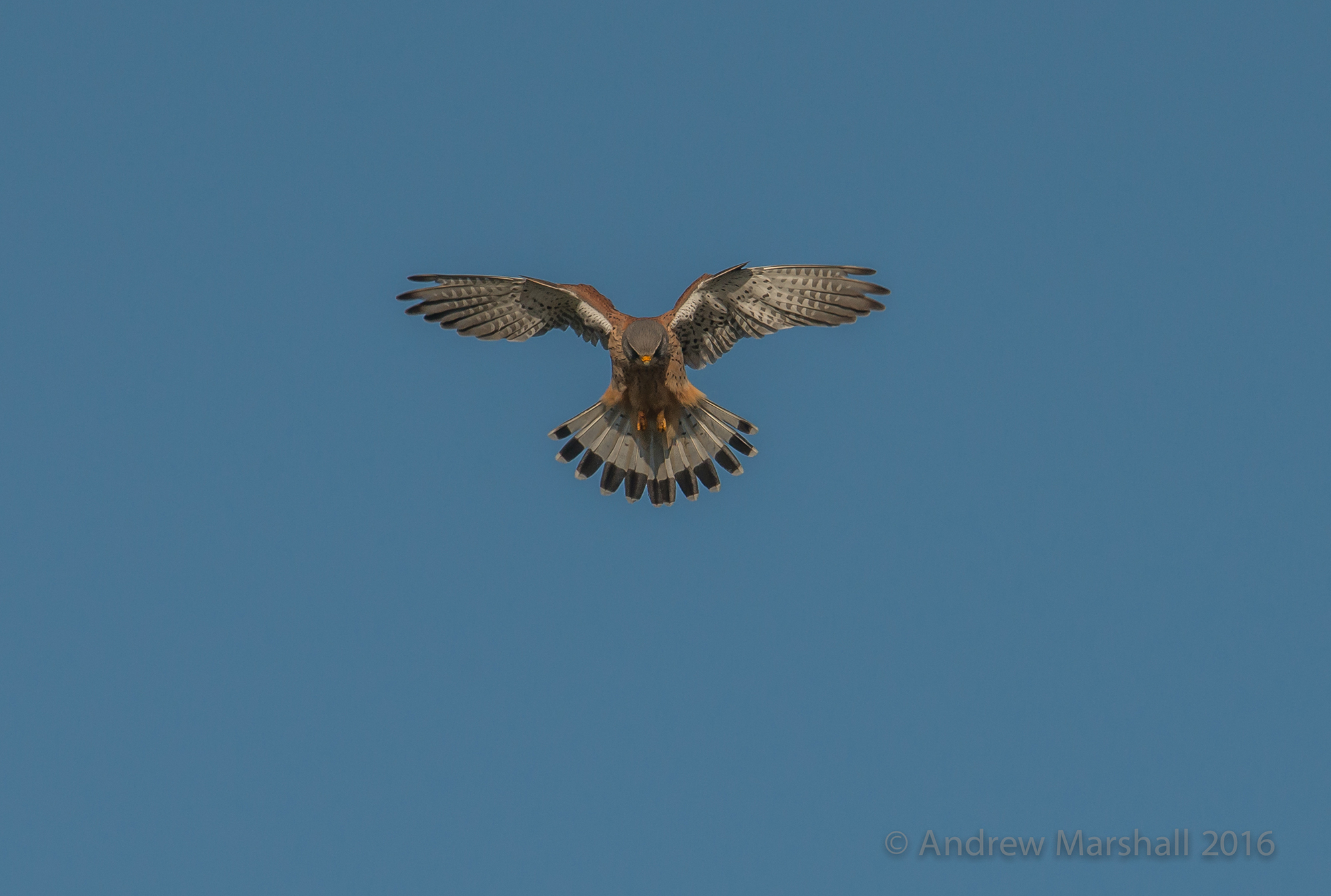 Male kestrel hunting over Pink Hill meadow in Oxfordshire. Nikon D800E, Nikkor 500mm f/4 and a 1.4 convertor at 700mm, ISO 360, 1/2000s at f/8 Handheld. April. This is a big crop but the Nikon D800E has plenty of pixels to play with. © Andrew Marshall
