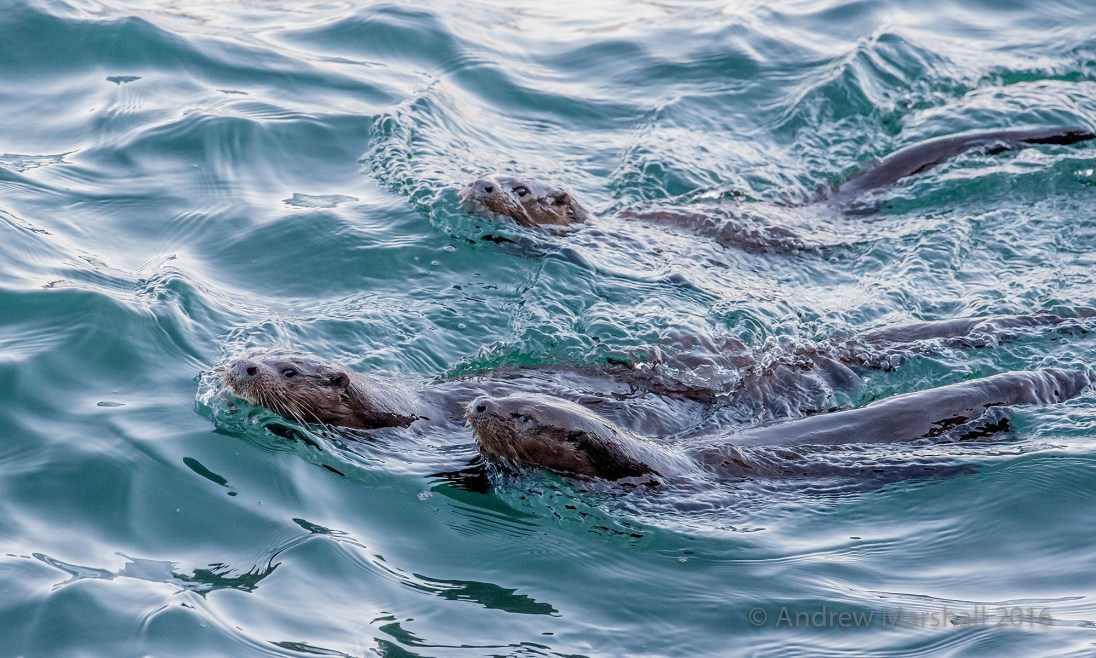A family of otters, Mull, Scotland. Nikon D4, Nikkor 500mm f/4 at 500mm, ISO 1000, 1/1250s at f/7.1 Handheld. January. © Andrew Marshall.