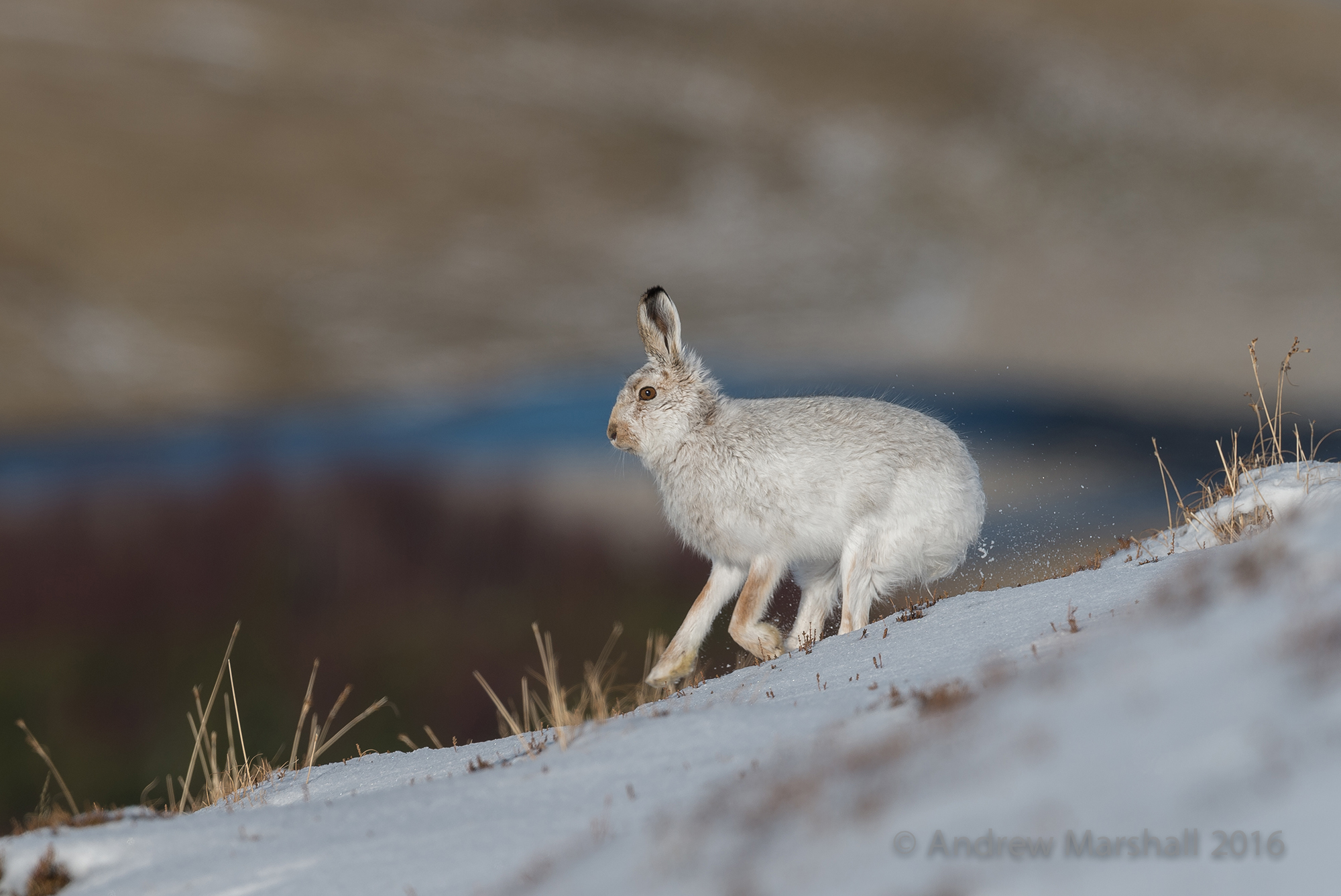 Mountain Hare, Cairngorms. Nikon D4, Nikkor 500mm f/4 and a 1.4 convertor at 700mm, ISO 180, 1/1000s at f/8 Handheld. March. © Andrew Marshall.