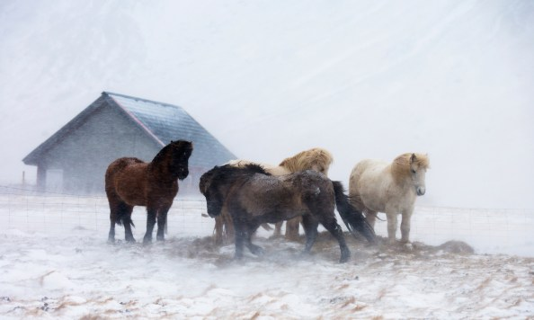 Horses in the snow, Canon 5D MKIII, Canon 70-200 f/2.8 MKII at 120mm, 1/200 at f/4, Handheld. February. © Andrew Yu