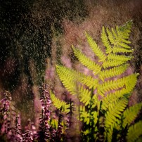 Ferns at Thursley Common. Canon 6D, Canon EF 24-105mm f/4 at 105mm, ISO 320, 1/1250s at f/5. August. © Beata Moore