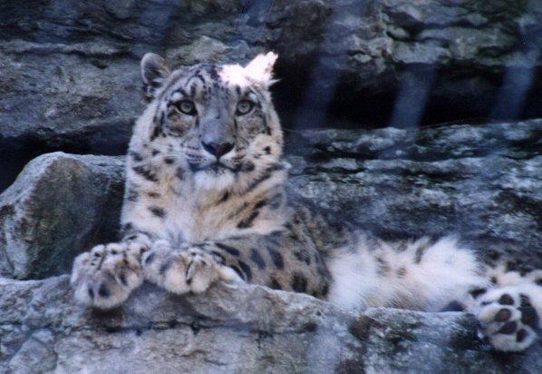 Snow Leopard Uncia uncia