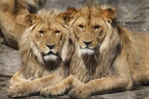 lions-1660044_640