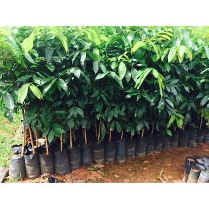 swietenia-macrophilla-mahogany-plants-garden-plant-500x500