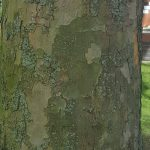 London Plane Tree Mottled Bark