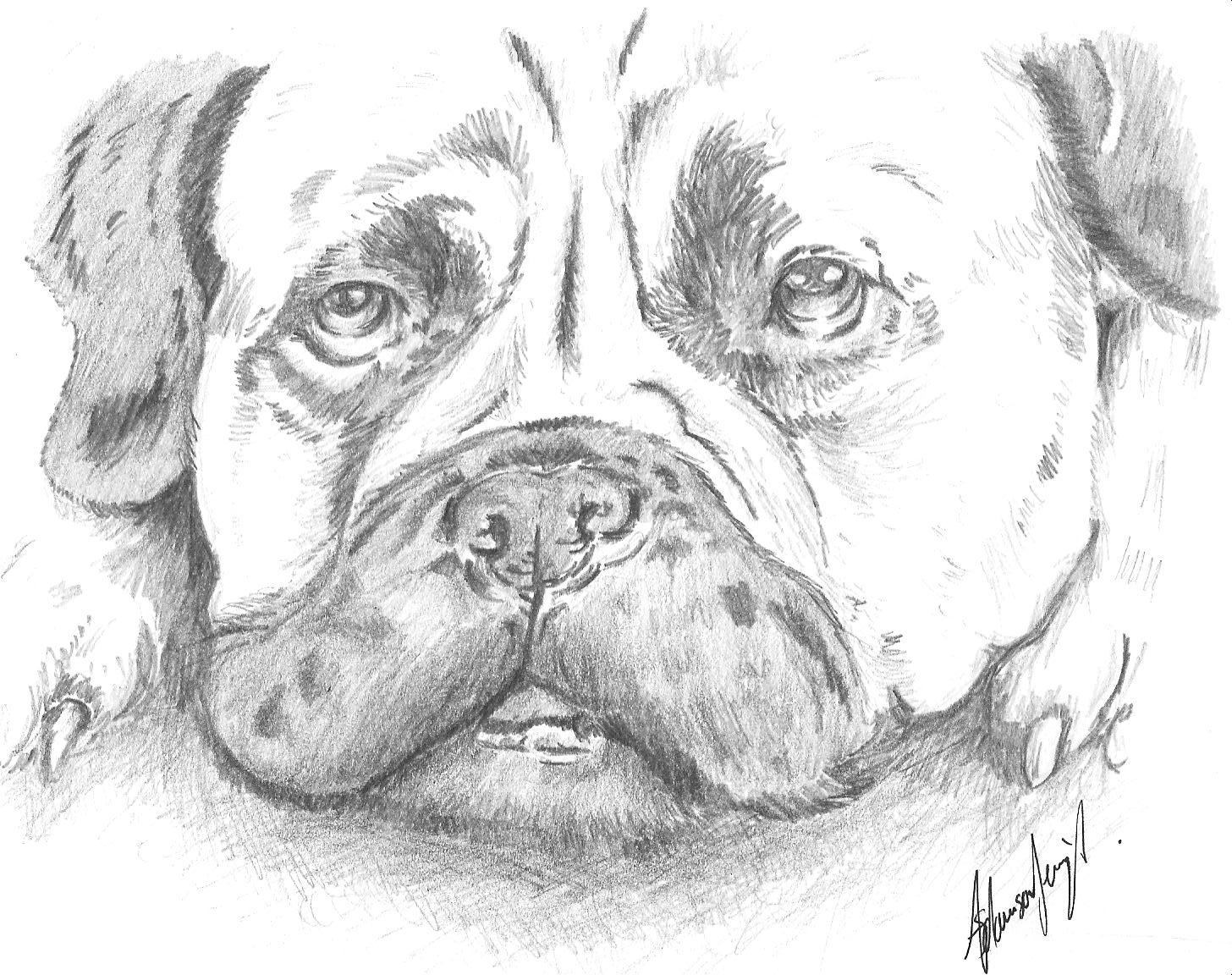 bull mastiff drawn to