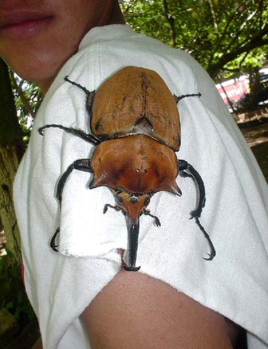 Huge Rhinoceros Beetle