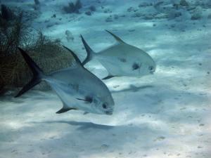 Fish you can see snorkeling in Savannah Bay