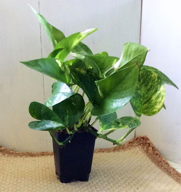 Golden Pothos Air Cleansing Plants fountainof30