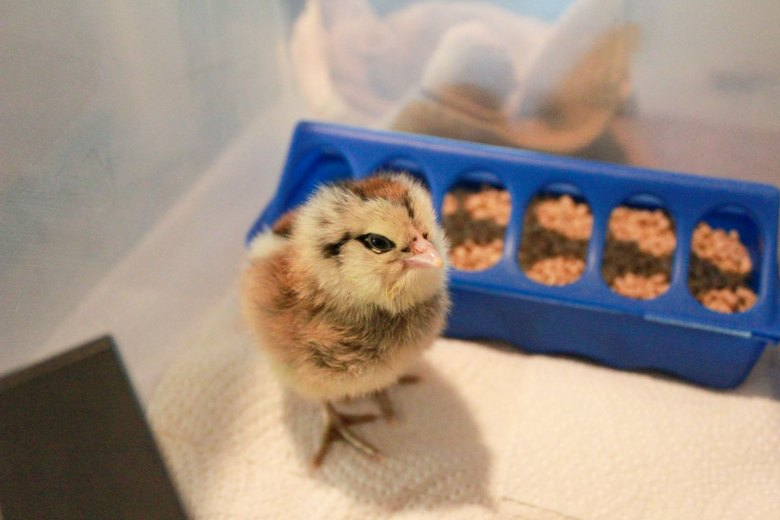 four acre wood farm hatching chickens