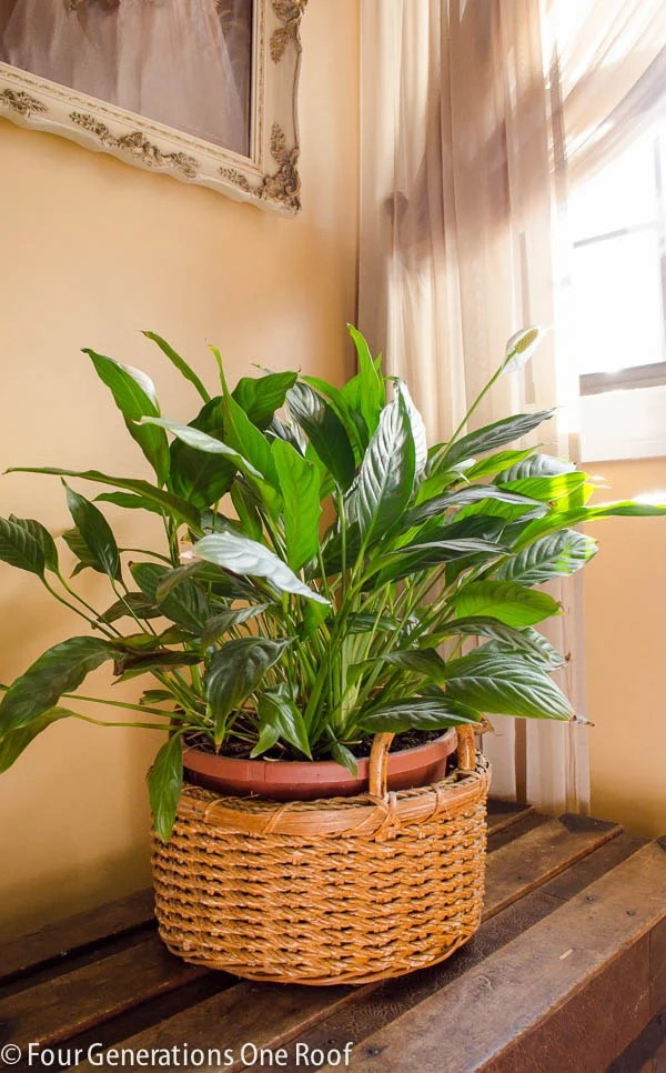 philodendron plant in a wicker brown basket on a trunk