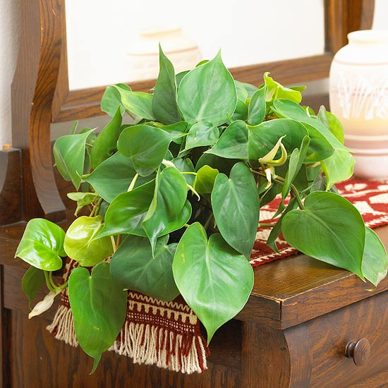 Philodendron house plant on red table runner, wood bureau - most common house plants