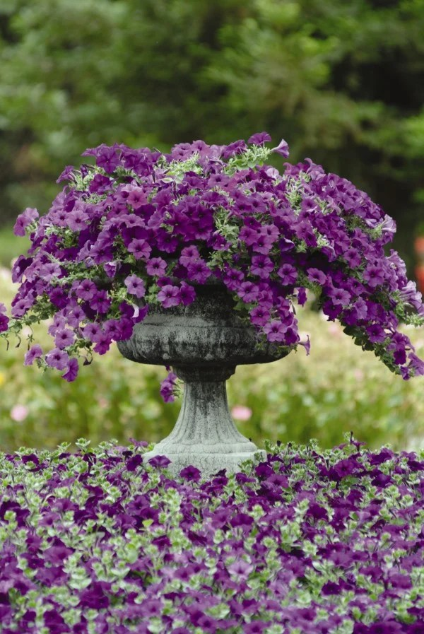 purple petunias in a gray urn