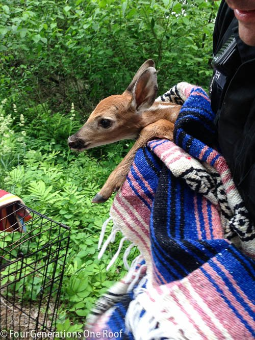 Deer Rescue : the day i rode around with a deer in my car