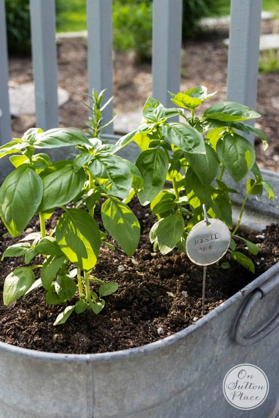 Wash Tub filled with basil